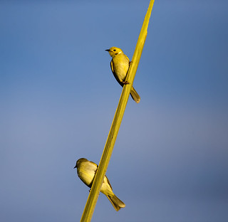 white plumed honey eater pair