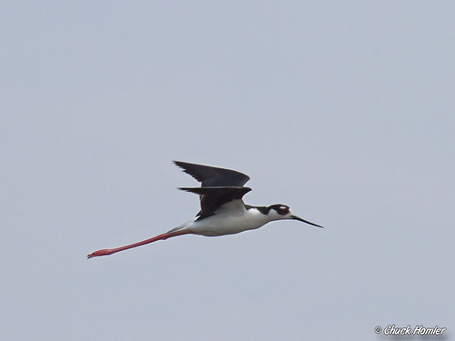 Black-Necked Stilt - Scarborough Marsh