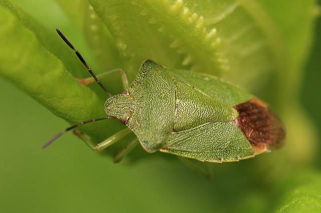 Heteroptera / 亀虫(カメムシ)