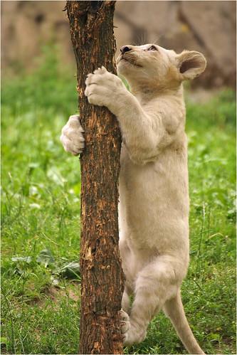 Climbing white lion cub [Explored]