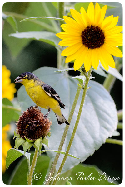 Lesser-Goldfinch-with-Sunflower