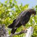 Shy black eagle 3
