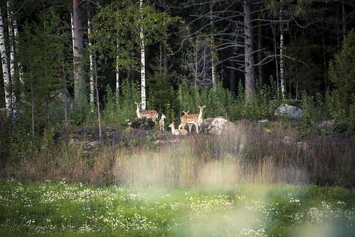 animals canon landscape sweden deer sverige fallowdeer damadama södermanland swedishcountryside canoneos5dmarkii sköldinge tamronspaf70300f456divcusd edenofsweden