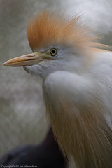 This Cattle Egret...
