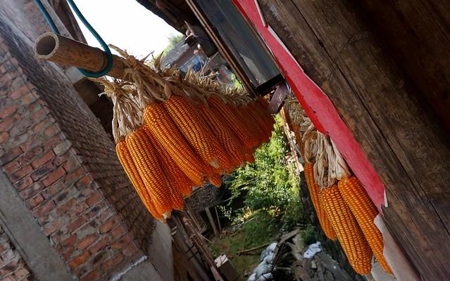 Corn drying in the sun