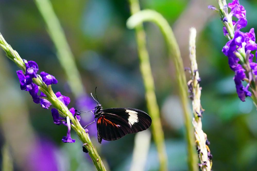 美洲蛺蝶 Heliconius erato-1