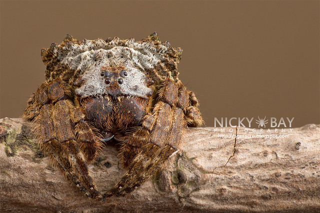 Big-Headed Bark Spider (Caerostris sp.) - DSC_7275