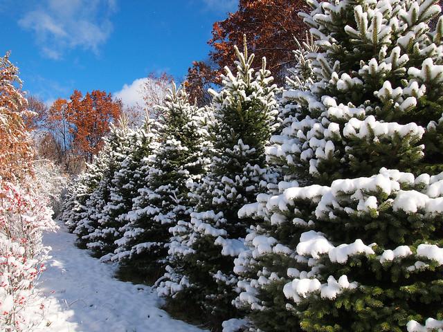 Our Trees Paradise Hill Christmas Tree Farm