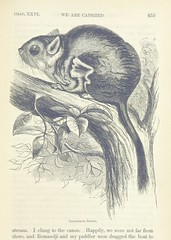 """British Library digitised image from page 555 of """"Explorations and adventures in Equatorial Africa; with accounts of the manners and customs of the people and of the chace of the gorilla, crocodile, leopard, elephant, hippopotamus and other animals. (Seco"""