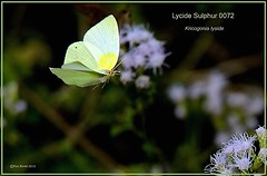 Lycide Sulphur Texas Butterfly photography by Ron Birrell, DSC_0072