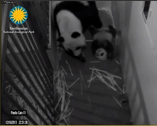 Giant Panda Cam - National Zoo.clipular7