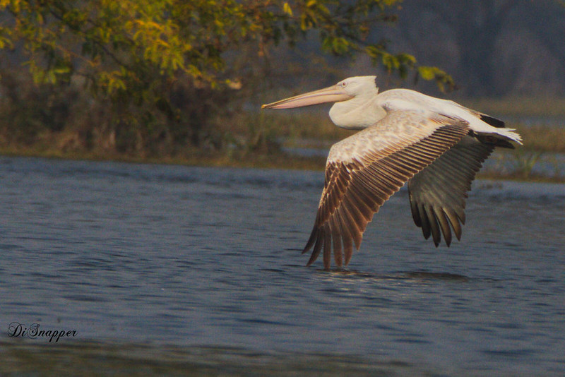 Rosy Pelican in flight