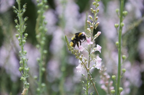 "linaria ""canon went"" & bumble bee"