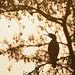 Corvo-marinho-de-faces-brancas by Hugo Amador