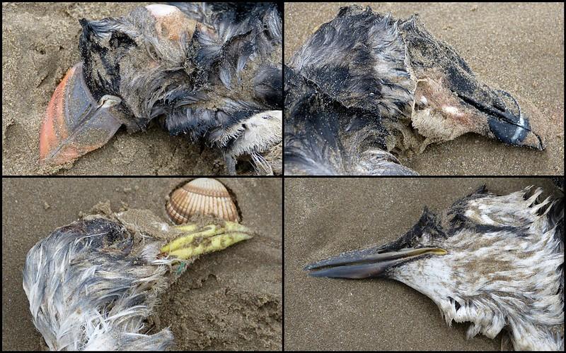 Seabird Wreck, Cefn Sidan