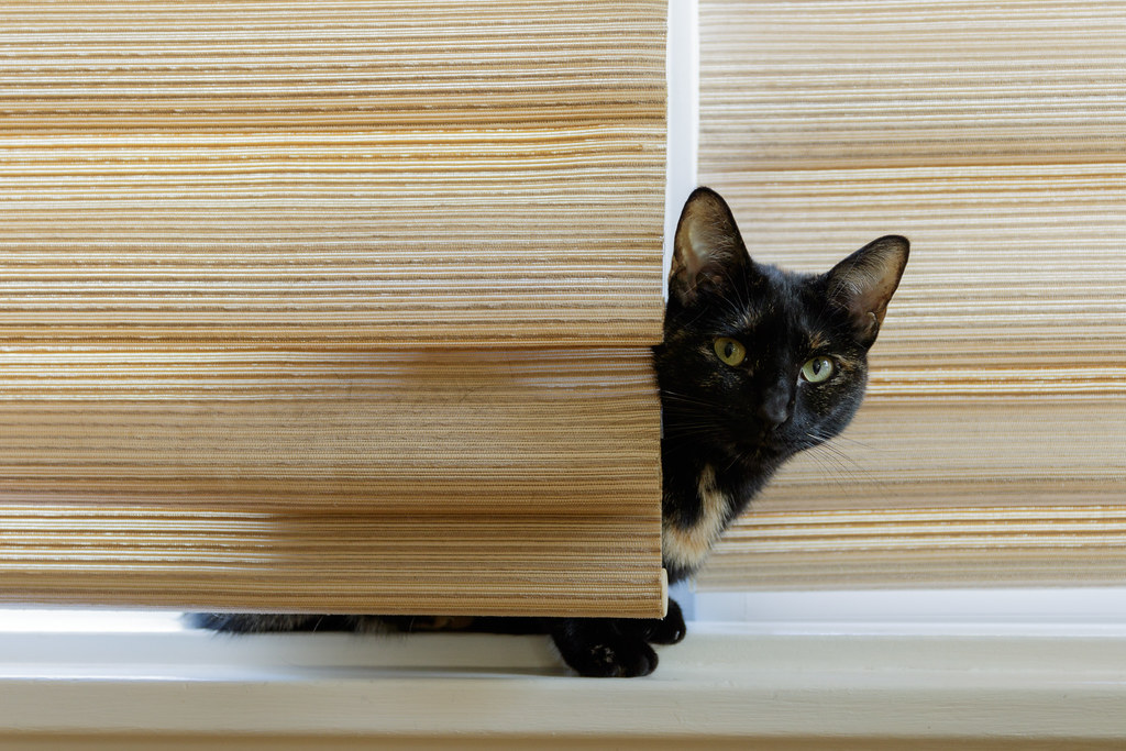Our tortoiseshell cat Trixie peeks out from behind the curtains