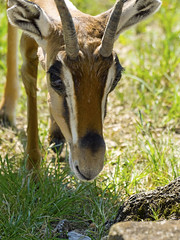 Memphis Zoo 08-31-2016 - Grants Gazelle 4