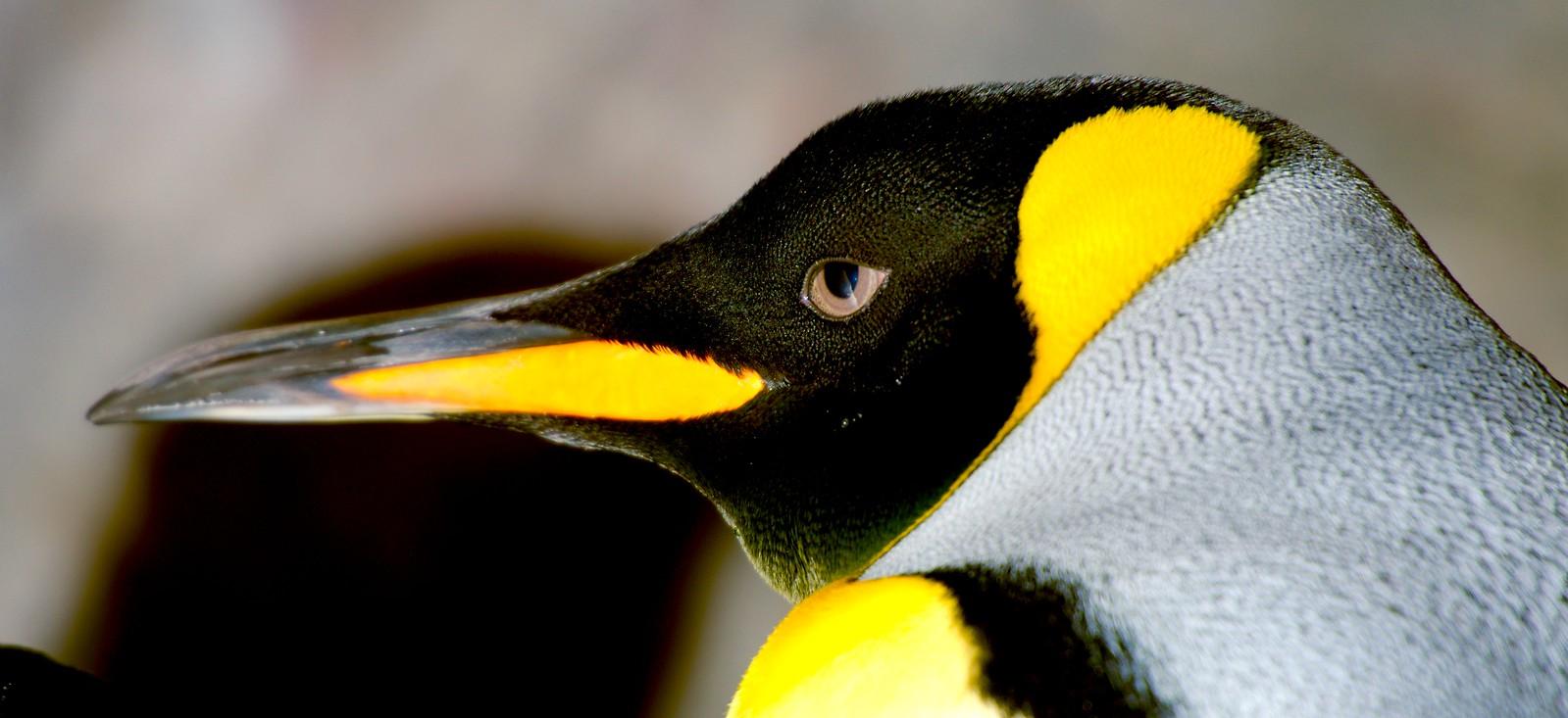 King Penguin_1