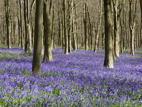 West Wood, near Lockeridge, Wiltshire