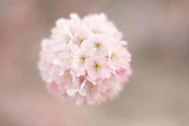 Harumeki Sakura / 春めき桜