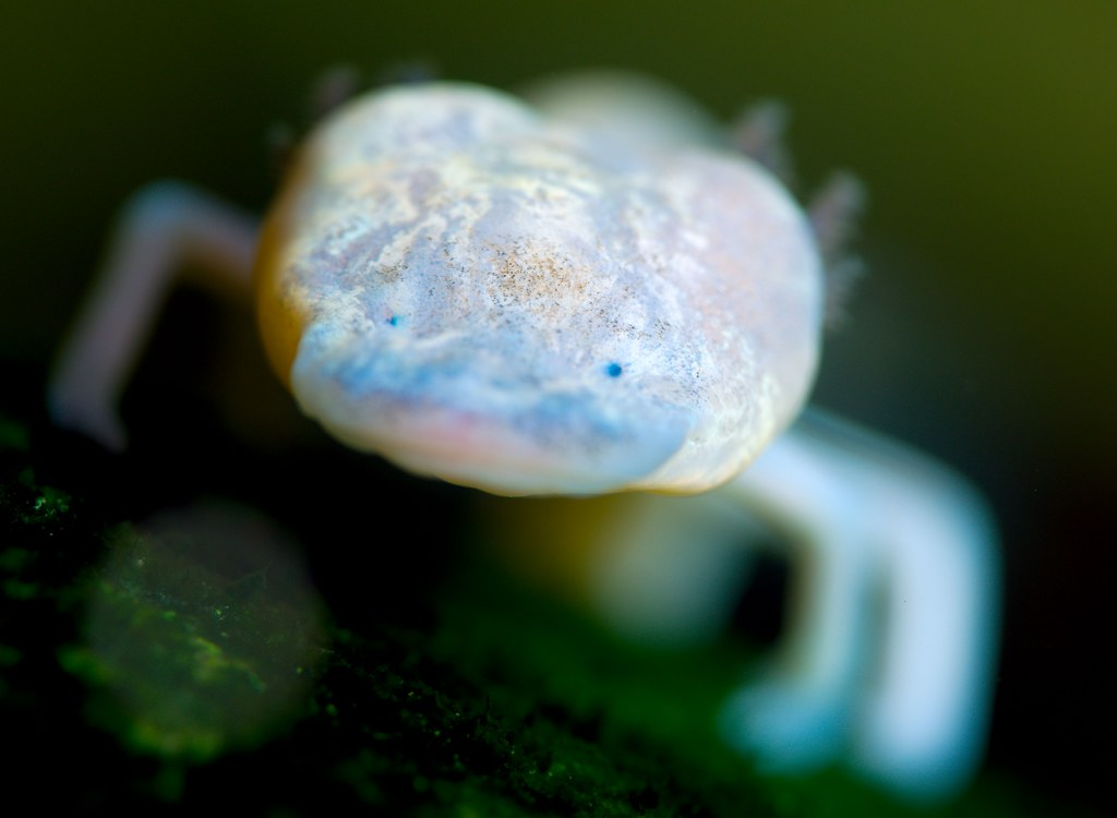 Texas Blind Salamander