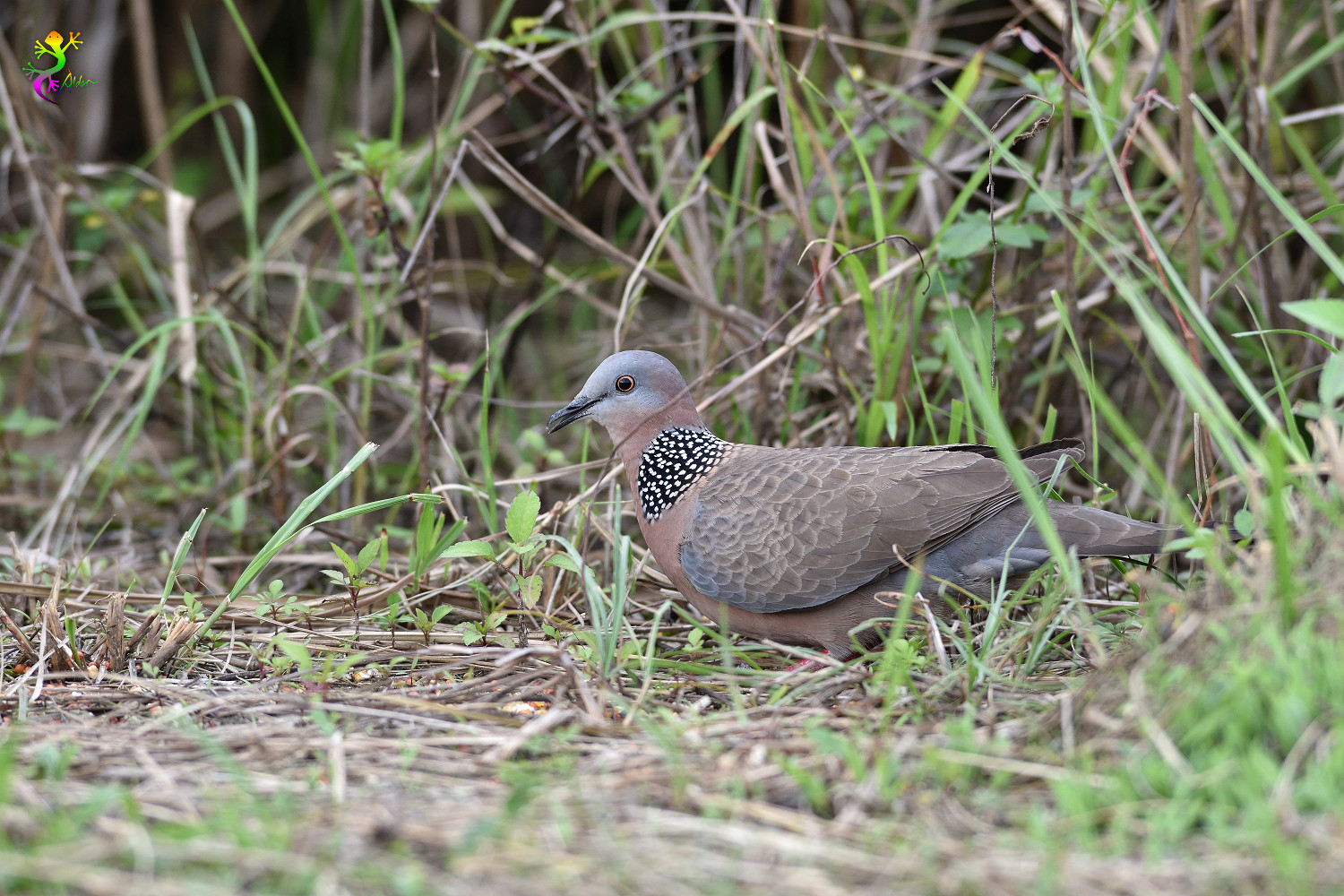 Spotted_Dove_8458