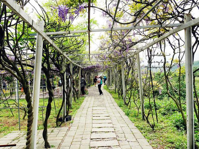 新北淡水三芝紫藤咖啡園夢幻紫色隧道 (12)