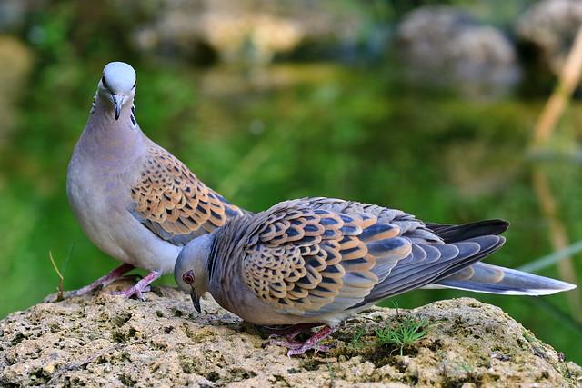 Love parade in European turtle doves; Streptopelia turtur. Bollullos de la Mitación, Sevilla, ES