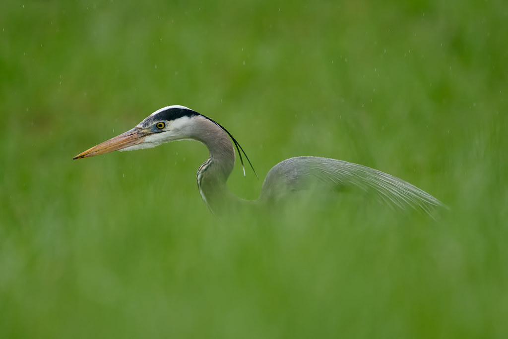A great blue heron hunts for voles in a sea of green grass
