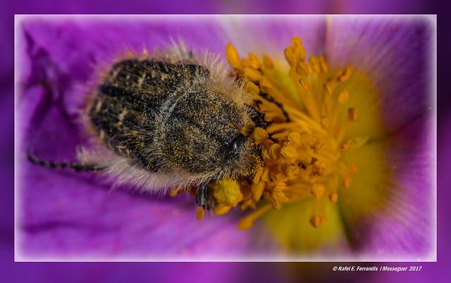 Bany de pol·len (Brunidora en estepa blanca) Oxythyrea funesta, cistus albidus (A pollen bath) El Bosquet de Moixent, La Costera, València, Spain