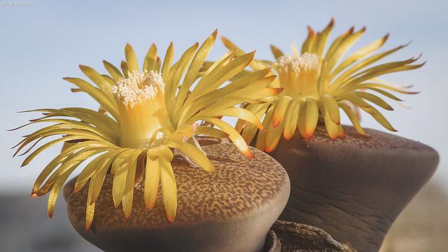 Lithops lesliei ssp. lesliei v. mariae C141