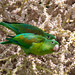 Orange-chinned Parakeet (Ian Talboys)