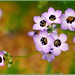 Small photo of Purple Gilia