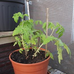 cherry tomato planting in L6 Balcony Garden by MidnightReverie