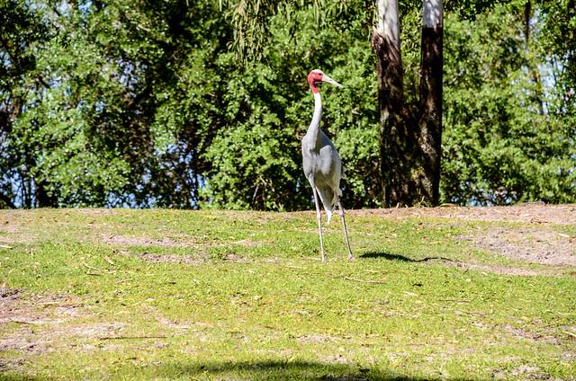 Tall bird Maharajah
