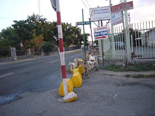 goats, Kingston,Jamaica