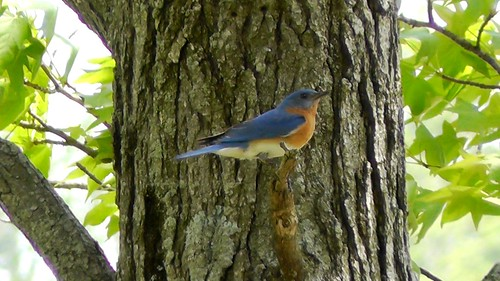 S1350006_Bluebird_at_Ouabache