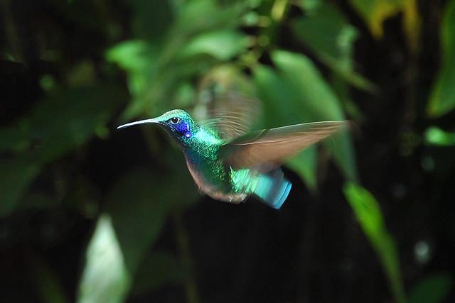 Colibrí en Reserva biológica Bosque Nuboso Monteverde, Costa Rica.