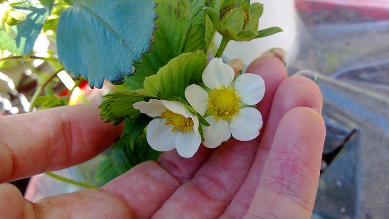 Strawberry Picking WP_20130527_034