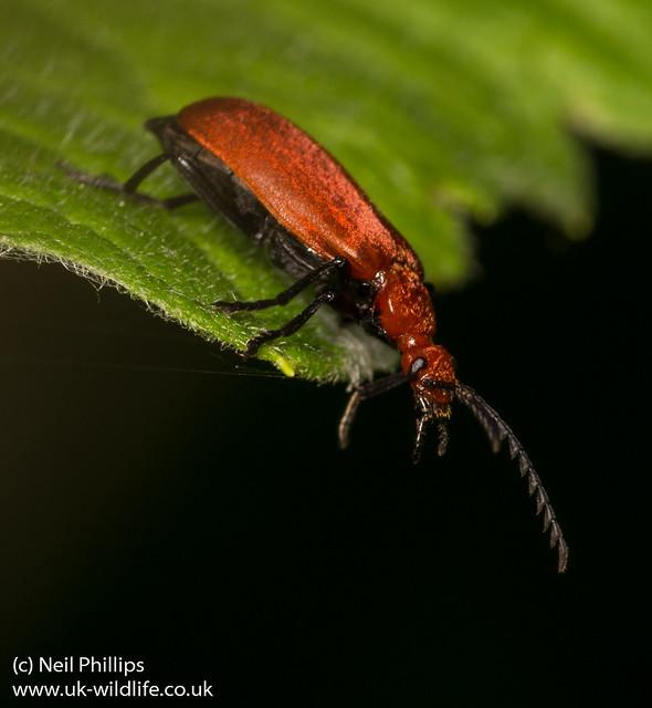 Cardinal beetle Pyrochroa serraticornis 3