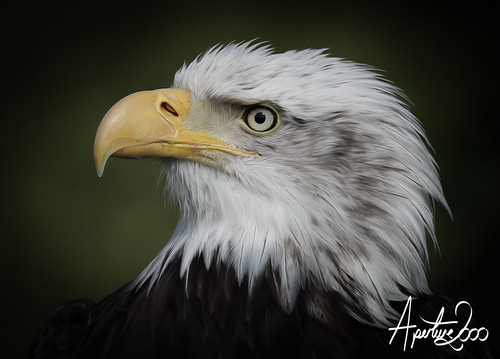 Bald Eagle Portrait by TheApertureMan