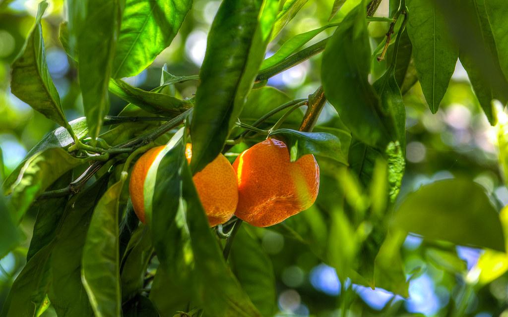Botanical Citrus