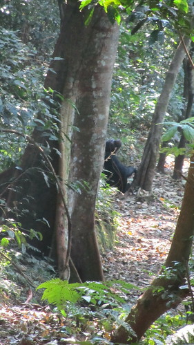 Chimp taking a break by a tree.