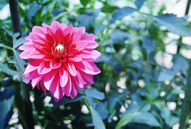 Photo:町田ダリア園 Machida Dahlia Garden By revelyrist