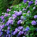 Small photo of A lot of Hydrangea