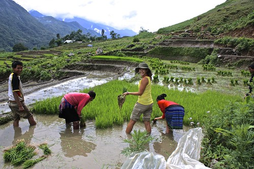 Lina picking rice to be replanted