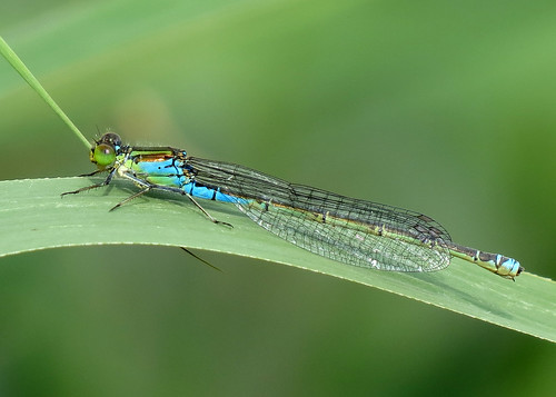 Small Red-eyed Damselfly - Erythromma viridulum