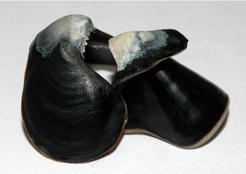 07、鸚鵡螺的喙部完全鈣化,強而有力。圖片作者:李坤瑄。