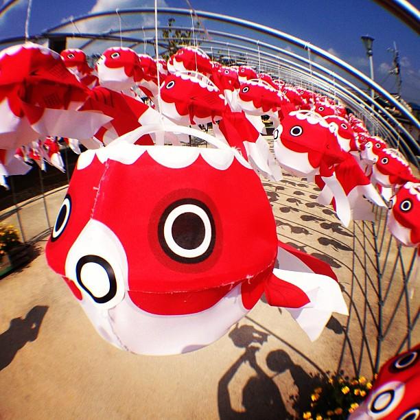 柳井金魚ちょうちん祭り #Goldfish Paper #Lantern #Festival. #fisheye #olloclip