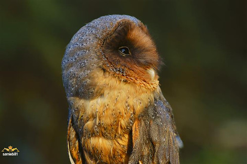 Black Barn Owl by sarniebill1